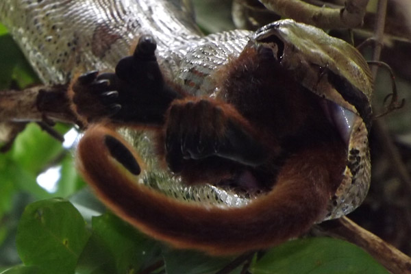 Scientists Catch Boa Constrictor Eating A Howler Monkey Photos