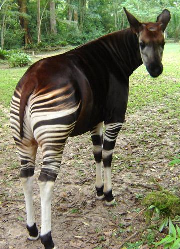 Okapi en la RDC.  Foto cortesía del Proyecto por la Conservación del Okapi.