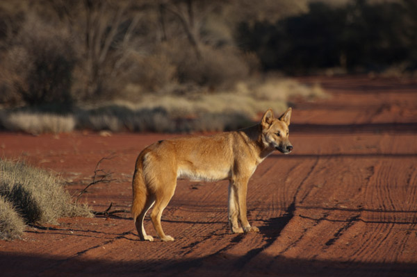 Could Australia's biodiversity be better protected by reintroducing the dingo. Photo by: Angus McNab.