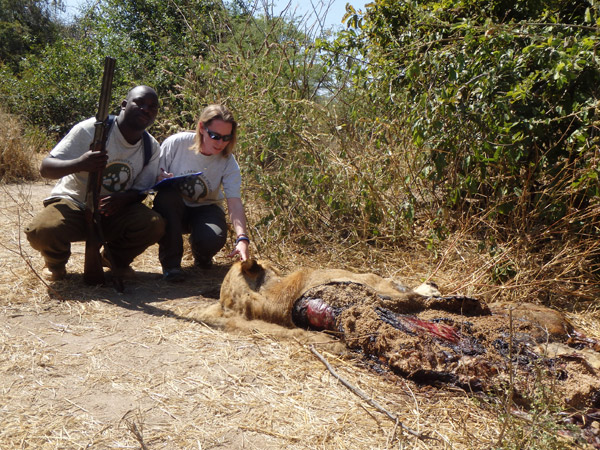Amy Dickman investigates the carcass of a poisoned male lion. In the villages around Ruaha National Park, poisoning is a common method of retaliation against carnivores for attacks upon livestock. Photo by: Ruaha Carnivore Project.