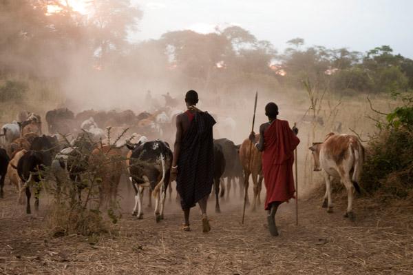 Normalmente, los guerreros Barabaig vigilan el ganado de la familia mientras pacen en los arbustos durante el día e intentaran arponear grandes carnívoros si amenazan al ganado. Photo by ©: Andrew Harrington.