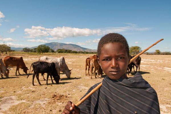 El ganado denota riqueza y prestigio para pastores como los Barabaig. La pérdida de ganado por depredación es el principal impulsor de las matanzas de leones en los poblados de alrededor de Ruaha. Photo by ©: Andrew Harrington.
