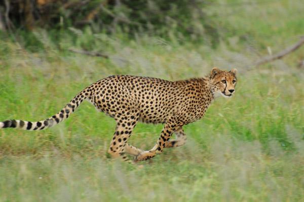 El área de Ruaha es uno de los cuatro lugares en el África oriental con una población de guepardos de 200 o más adultos. Photo by ©: Sasja van Vechgel.