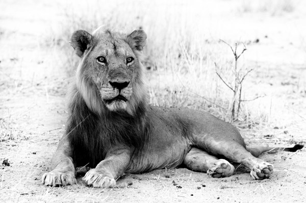 A Ruaha male lion in his prime. Photo by: Sasja van Vechgel.