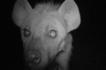 Una hiena manchada investida una cámara trampa del PCR. La información de la cámara trampa del PCR está proporcionando la primera información sobre la presencia y densidad de los carnívoros en el paisaje de Ruaha. Ruaha sustenta una población de hienas manchadas mundialmente importante. A pesar de que a mucha gente no le gustan, son uno carnívoros fascinantes y también necesitan que se invierta en su conservación. Photo by: Ruaha Carnivore Project.