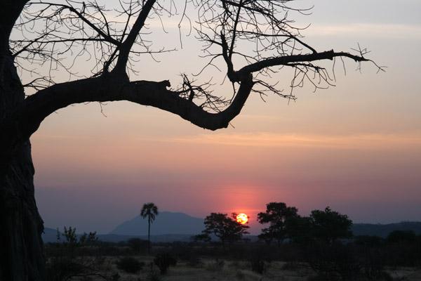 Moses, el conductor de la reserva del Campamento Safari Mwagusi, captó esta preciosa fotografía de un leopardo descansando en un árbol. Para suplementar su investigación sobre los carnívoros en el Parque Nacional de Ruaha y sus alrededores, el PCR les da a los conductores de varios albergues unas cámaras digitales y unidades de GPS para anotar los avistamientos de carnívoros en sus viajes diarios. Photo by: Mwagusi Safari Camp.