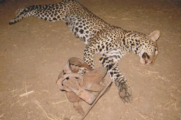 Un leopardo atrapado en un cepo en un pueblo de Ruaha. Los cepos no se usan tanto como el veneno y las lanzas para contratacar contra los depredadores, pero los carnívoros a menudo caen en cepos puestos con la intención de coger fauna para carne. Photo by: Ruaha Carnivore Project.