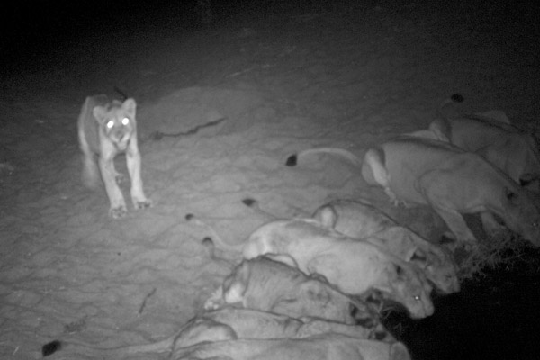 An RCP camera trap captured this pride of lions drinking at the Mwagusi River in Ruaha National Park. Photo by: Ruaha Carnivore Project.