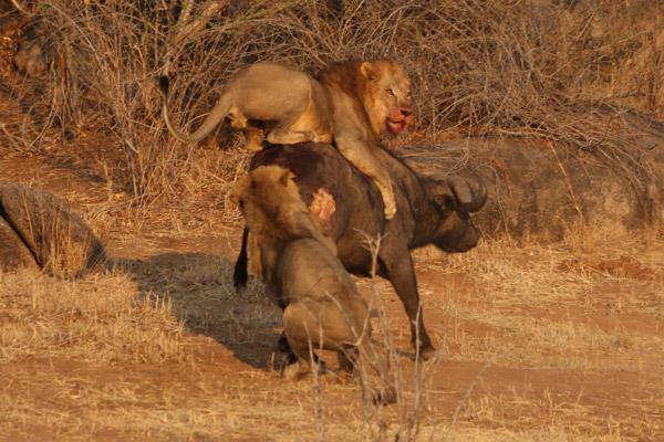 Dos leones intentan derribar a un búfalo en el Parque Nacional de Ruaha. El paisaje de Ruaha mantiene la segunda población más grande de leones que queda en el mundo. Photo by ©: Micol Farina.