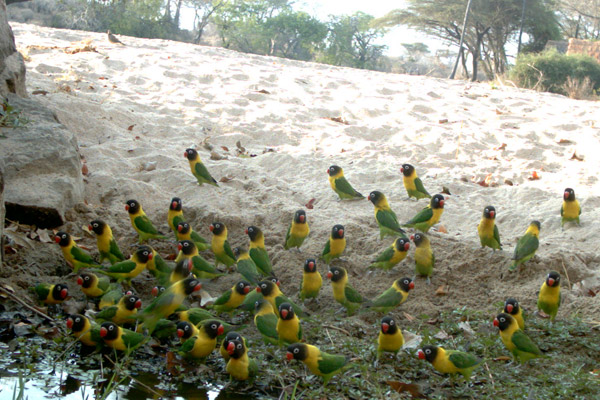 A camera trap at Mwagusi Safari Camp catches a group of thirsty yellow-collared lovebirds. Over 500 bird species are found in Ruaha. Photo by: Ruaha Carnivore Project.