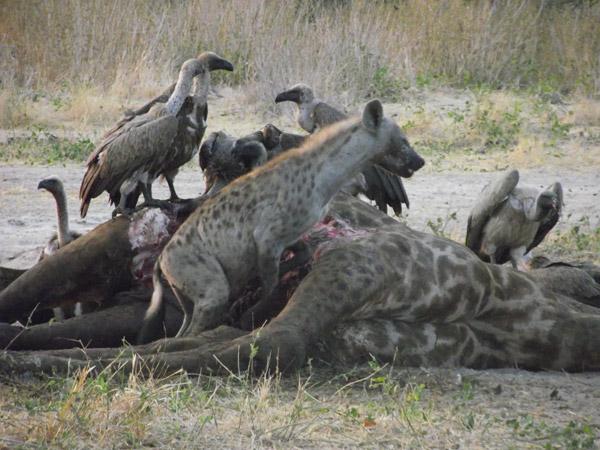 Moses, el conductor de la reserva del Campamento Safari de Mwagusi, hizo esta foto de una hiena manchada compartiendo el cadaver de una girafa con un grupo de buitres dorsiblancos. Photo by: Mwagusi Safari Camp.