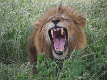 Fotos tomadas por personal del albergue y visitantes serán usadas por el PCR para establecer la edad e identificar cada animal. Photo by: © Mwagusi Safari Camp.