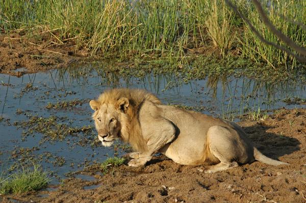 El Campamento Safari de Mwagusi proporcionó al PCR esta foto de un león bien alimentado en el Parque Nacional de Ruaha. La plantilla y los visitantes a varios albergues en Ruaha y sus alrededores son unas fuentes de fotos e información sobre los carnívoros muy útiles para el PCR. Photo by: Mwagusi Safari Camp.