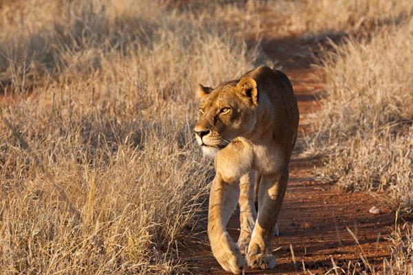 En noviembre, el PCR espera empezar a utilizar collares GPS en los leones para recoger información muy necesitada sobre los movimientos de los leones en los pueblos en el paisaje de Ruaha. Photo by: Mwagusi Safari Camp.