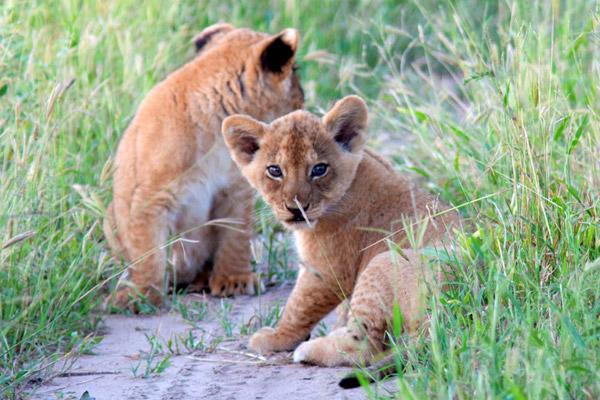 El conflicto intenso con los lugareños es uno de las principales amenazas a las que se enfrentan los leones en el paisaje de Ruaha. Photo by © : Pauline Salta.