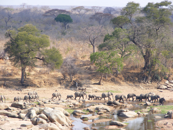The Ruaha landscape includes Ruaha National Park, which at more than 20,000 km2 is Tanzania's largest national park. The Ruaha landscape supports one of the largest remaining elephant populations in Africa, with about 25,000 elephants within the Park boundaries and at least 15,000 in other land-use types. Photo by: Marcus Adames.