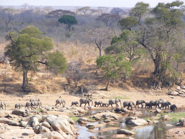 El paisaje de Ruaha incluye el Parque Nacional de Ruaha, que, con más de 20.000 km², es el parque nacional más grande de Tanzania. El paisaje de Ruaha incluye una de las poblaciones de elefantes más grandes que quedan en África, con unos 25.000 elefantes dentro de los límites del Parque y, al menos, 15.000 por las tierras de los alrededores. Photo by ©: Marcus Adames.