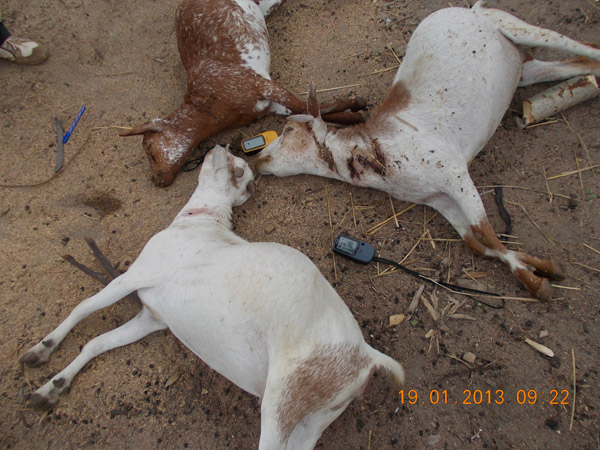 Un trío de cabras muertas como consecuencia de una ataque de depredadores durante la noche en una boma (recinto para el ganado). Este tipo de ataques pueden suponer costes muy serios para los hogares pobres. Photo by: Ruaha Carnivore Project.