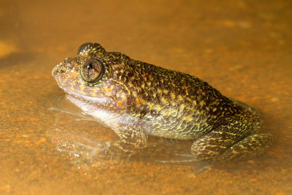 Nyctibatrachus grandis. Photo by: Shashank Dalvi/Krithi Karanth/CWS.