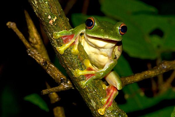 Rhacophorus malabaricus. Photo by: Shashank Dalvi/Krithi Karanth/CWS.