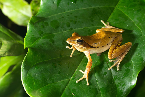 Polypedates maculatus. Photo by: Shashank Dalvi/Krithi Karanth/CWS.