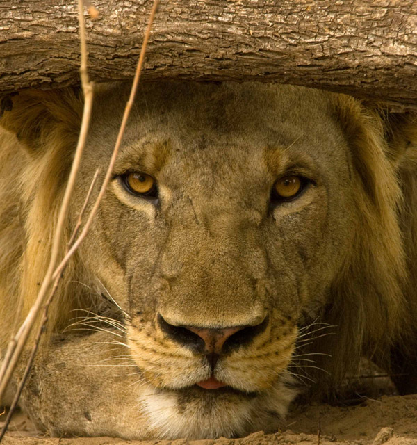 Male lion in Niassa. Photo by: Niassa Carnivore Project.