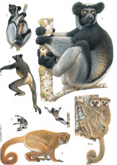 Lemurs. Illustration by: Francois Desbordes.