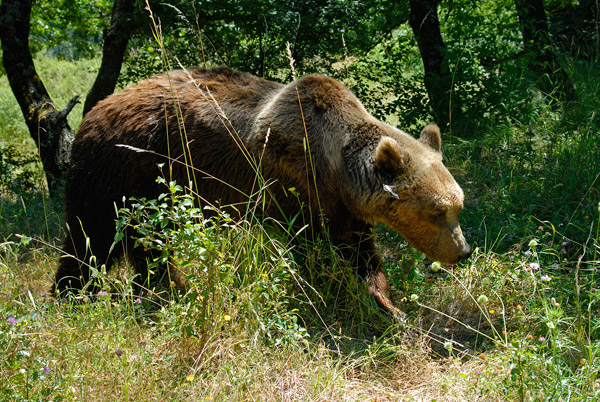 Italy's distinct bear: Marsican bear. Photo by: Gaetano de Persiis.
