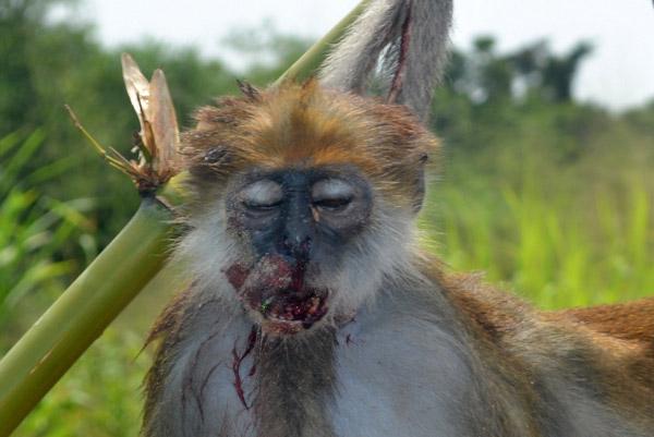 Macaco colobus oliva, outra espécie encontrada no Delta do Níger, morto por caçadores de carne selvagem. Foto: Rachel Ashegbofe Ikemeh.