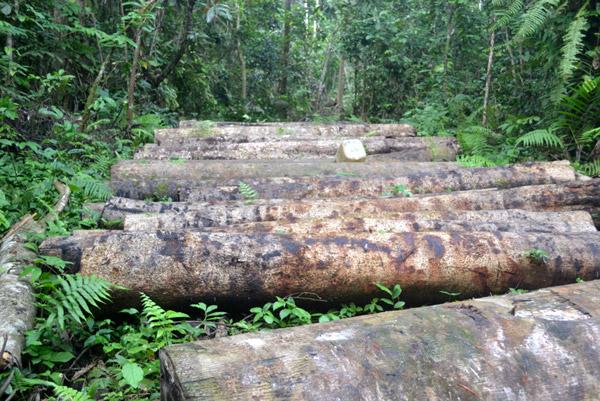 Derrubada de árvores no Delta do Níger. Foto: Rachel Ashegbofe Ikemeh.
