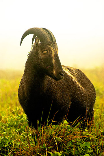 The Nilgiri tahr (Nilgiritragus hylocrius) is endemic to the region. This species is listed as Endangered by the IUCN Red List. Photo by: Sreeraj PS.
