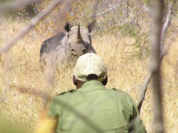 LRT rhino monitor tracking female black rhino. Black rhinos (Diceros bicornis) are currently listed as Critically Endangered. Photo by: LRT.