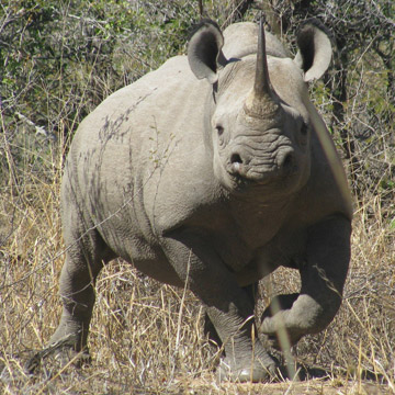 Female black rhino on guard. Photo by: LRT.