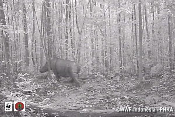 Still from camera trap video of Sumatran rhino in Kalimantan. Photo by:© WWF-Indonesia/PHKA.