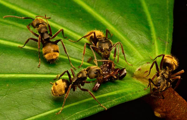 Ants, one of 149 species noted, consuming a dead insect. Photo by: Conservation International.