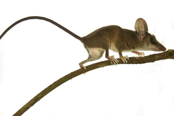 A delicate slender opossum (Marmosops parvidens), one of 39 species of small mammals. Photo by: Conservation International.
