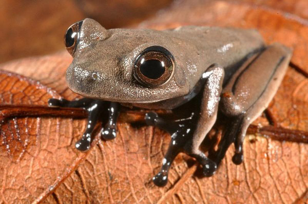 Scientists believe the so-called 'cocoa' frog is new to science. Photo by: Conservation International.