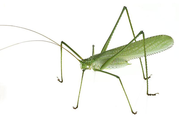 This new katydid is distinct enough to make its own genus. Note its unusually long legs. Photo by: Conservation International.