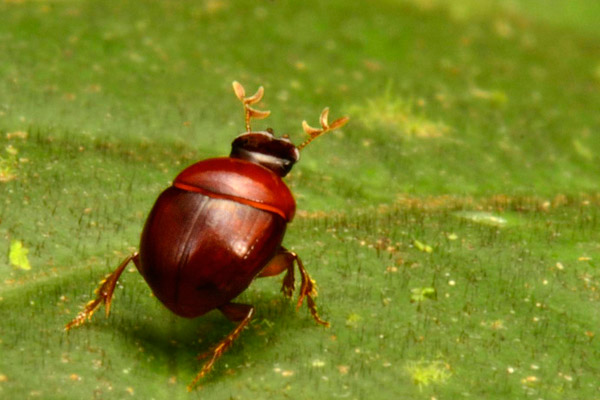 The 'lilliputian beetle' may not only be a new species, but a new genus. It is the smallest dung beetle yet discovered in the Guiana Shield, and the second smallest in all of South America. Dung beetles are nature's recyclers, mitigating disease and turning over nutrients. Photo by: Conservation International.