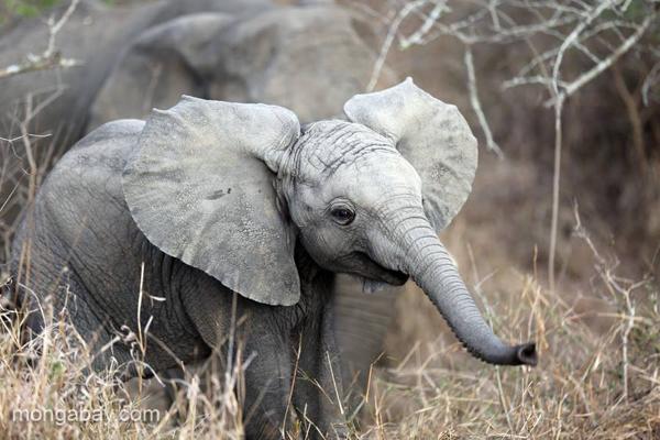 Cría de elefante en Sudáfrica. Fotografía de Rhett A.Butler.