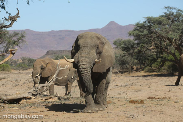 Elefante africano de Sabana en Namibia. Fotografía de Rhett A.Butler.