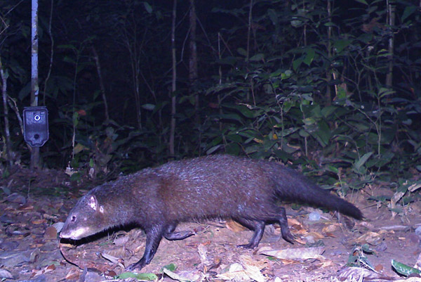 Marsh mongoose in Gabon. Photo by: Laila Bahaa-el-din/Panthera.