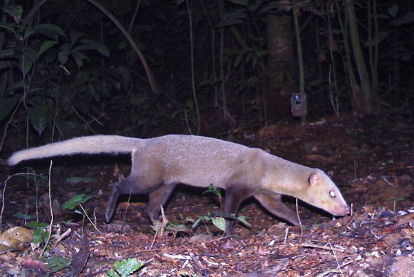 Black-footed mongoose (Bdeogale nigripes) in Gabon. Photo by: Laila Bahaa-el-din/Panthera.