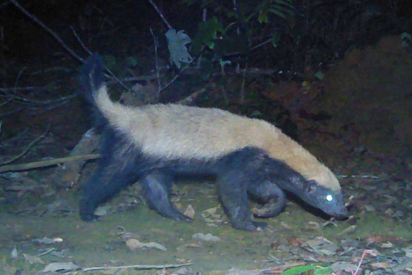 Although found in Gabon, the honey badger is rare and elusive in the country. Photo by: Laila Bahaa-el-din/Panthera.