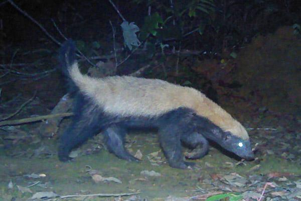 Bien qu'il soit présent au Gabon, le ratel est rare et furtif dans le pays. Photo de Laila Bahaa-el-din/Panthera.