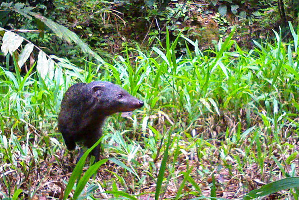 Long-nosed mongoose (Herpestes naso) in Gabon. Photo by: Laila Bahaa-el-din/Panthera.