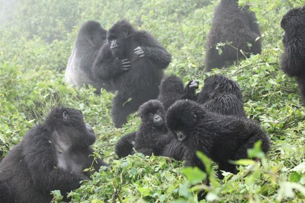 Hirwa Gorilla Group in Volcanoes National Park, Rwanda. Photo ©Julie Ghrist.