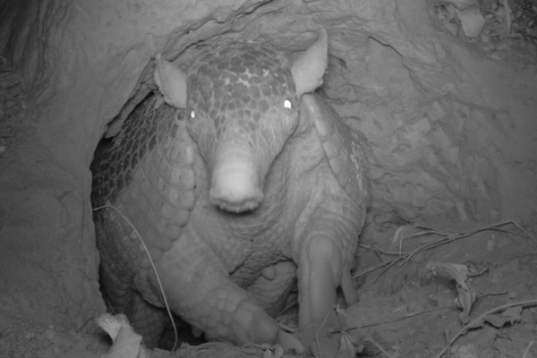 Giant armadillo emerging from its burrow at night. Photo by: The Pantanal Giant Armadillo Project.