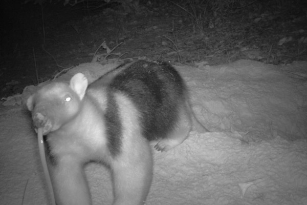 A southern tamandua sticks out its super long tongue at the camera trap after emerging from a giant armadillo burrow. Photo by: The Pantanal Giant Armadillo Project.