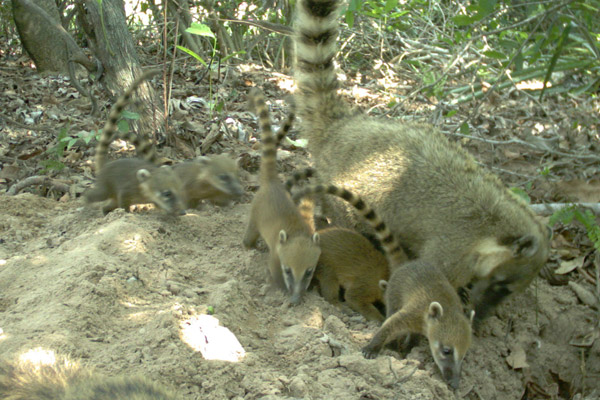 A troop of coati sniffing around the giant armadillo burrow's sand mound. Photo by: The Pantanal Giant Armadillo Project.